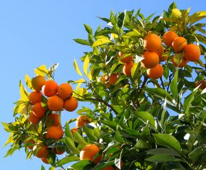 Orange Tree, by T.M. Dylan