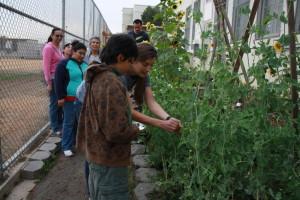 EnrichLA y HealthCorps ensena a familias como cultivar  sus propias hierbas, frutas y vegetales. Foto de Lourdes Espinoza.