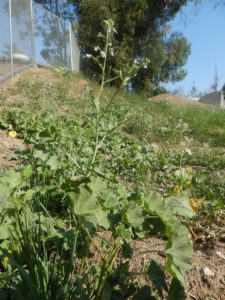 Healing plants grow in home gardens and even in some public parks. Photo by David Galindo.